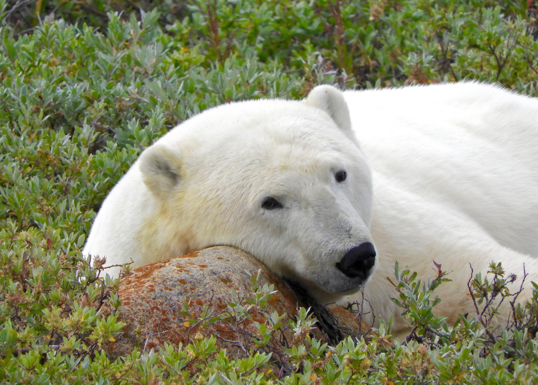 summer polar bear Churchill Manitoba Canada Tundra Buggy