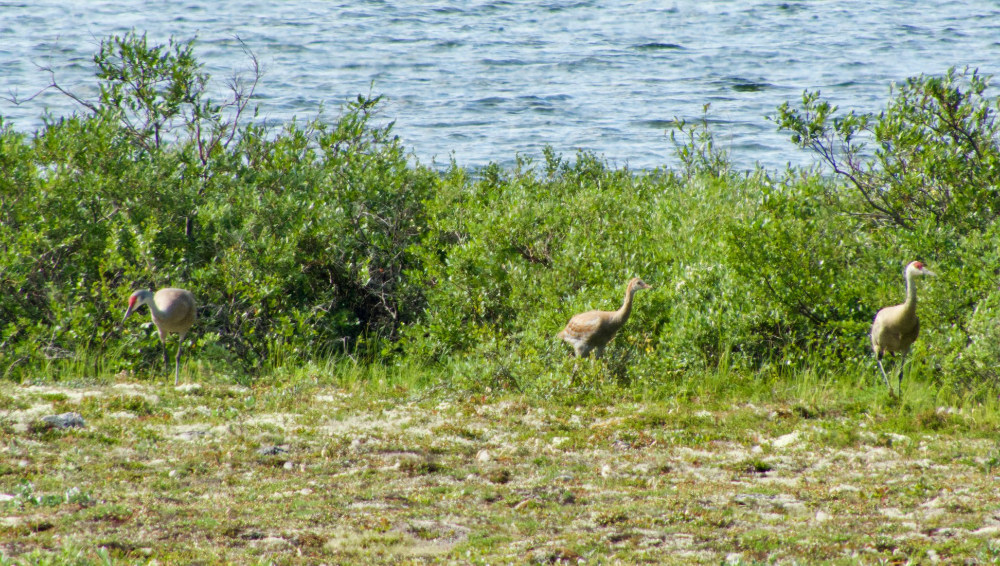 sandhill crane in Churchill Manitoba Canada