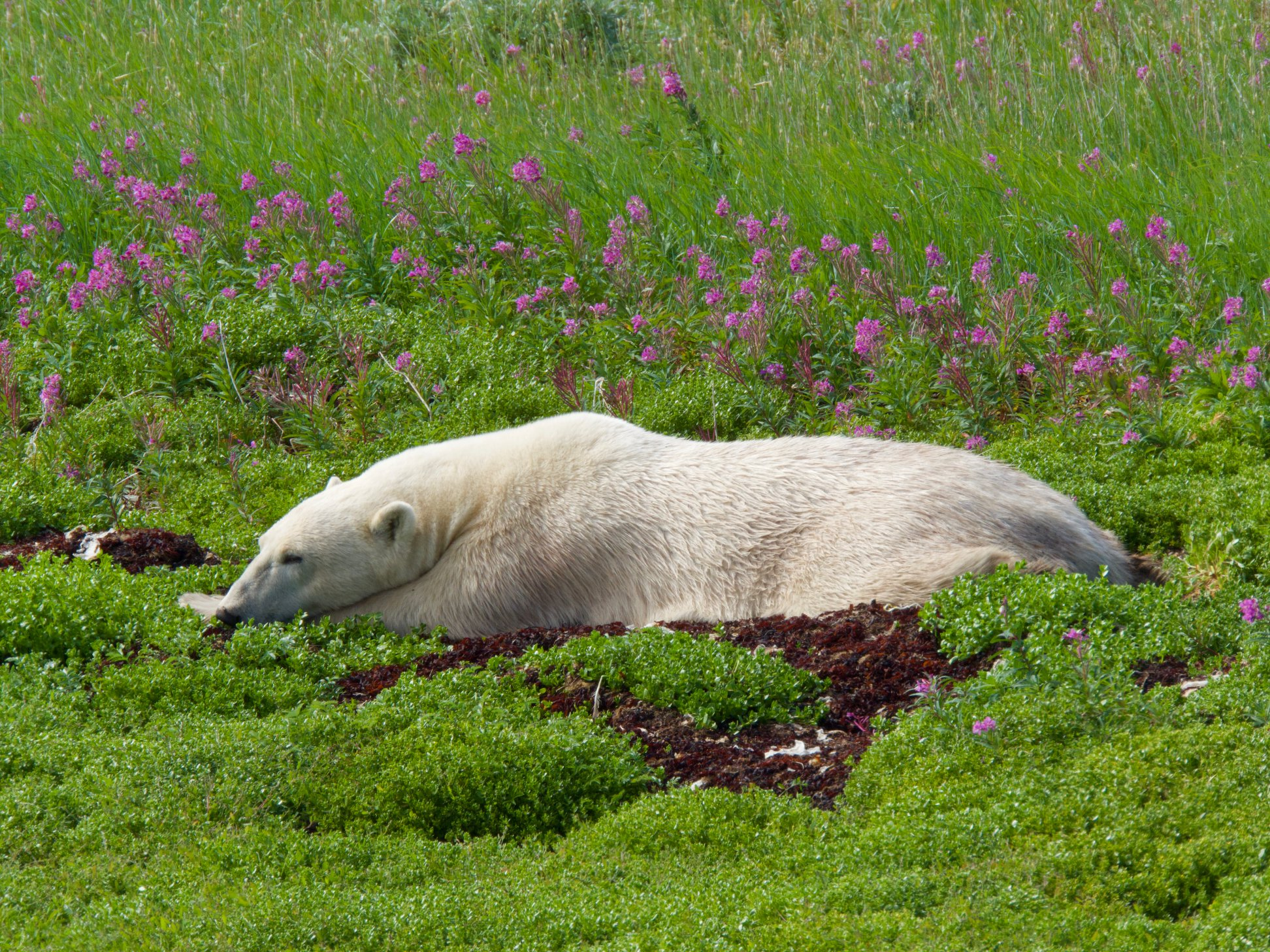 sleeping polar bear on Tundra Buggy Adventure