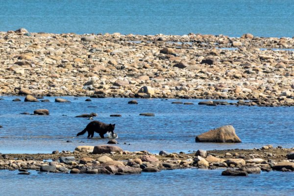 A rare wolf sighting in Churchill, Canada