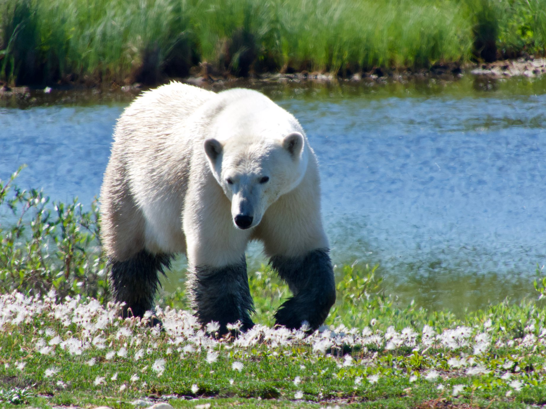 summer polar bear Churchill Wildlife Management Area