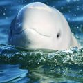 medium_38611486-0-belinda-beluga-web_copy.jpg